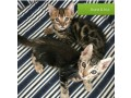 bengal-kittens-available-small-0