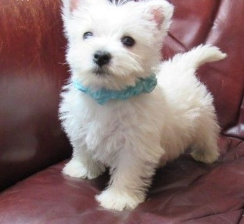 beautiful-west-highland-white-terrier-puppies-for-sale-big-0