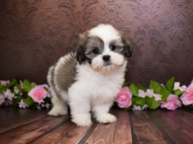 beautiful-purebred-lhasa-apso-puppies-for-sale-big-0
