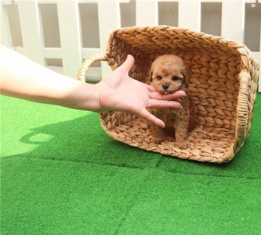 toy-poodle-puppies-for-adoption-big-0