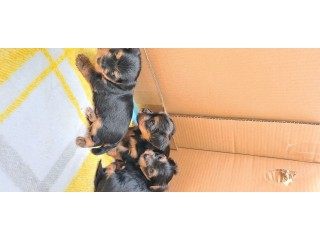 Two Gorgeous Yorkshire terrier for sale
