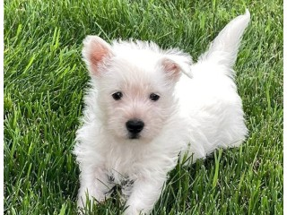 Beautiful West Highland White Terrier Puppies for sale