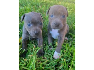 Staffordshire Bull Terrier Males and females
