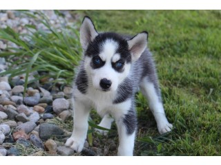 Cute and Adorable Siberian Husky Puppies for Rehoming -