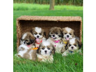 Awesome Shih Tzu Puppies Available for sale
