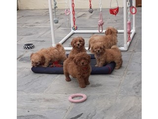 Cockapoo puppies for sale .
