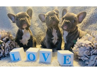 French bulldog puppies for adpotion