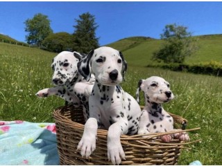 Male and Female Dalmatian Puppies