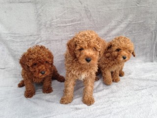Poodle puppies for good home