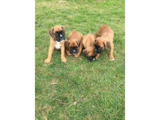 Beautiful Boxer puppies males and females