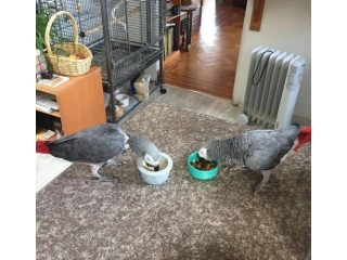 Beautiful African Grey Parrot Complete With Cage