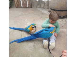 Top quality Blue and Gold Macaw Parrots available