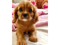 spaniel-puppies-for-sale-small-0