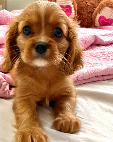 spaniel-puppies-for-sale-big-0