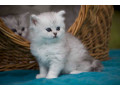 munchkins-kittens-available-small-0