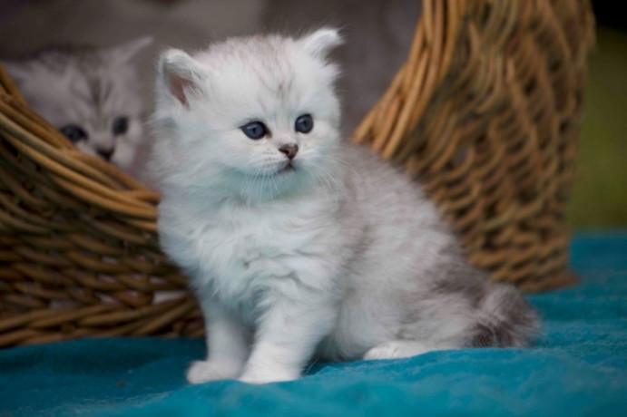 munchkins-kittens-available-big-0
