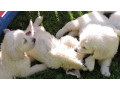 male-and-female-golden-retriever-puppies-available-small-1