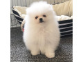 pomeranian-puppies-for-sale-whatsapp-me-on-1-832-356-3887-small-0