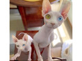 sphynx-and-bengal-kittens-available-for-adoption-small-1