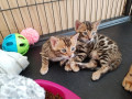 sphynx-and-bengal-kittens-available-for-adoption-small-0