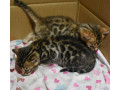 bengal-kittens-3-months-old-small-0