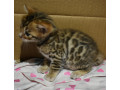 bengal-kittens-3-months-old-small-1