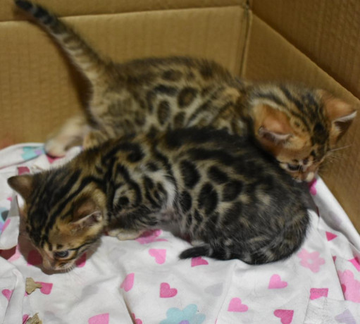 bengal-kittens-3-months-old-big-0