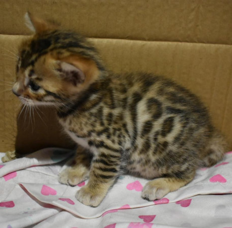bengal-kittens-3-months-old-big-1