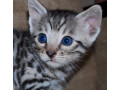 adorable-male-bengal-kitten-small-0