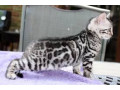 bengal-kittens-male-and-female-small-0