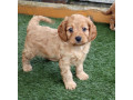 gorgeous-cavapoo-puppies-for-sale-small-2