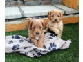 gorgeous-cavapoo-puppies-for-sale-small-1