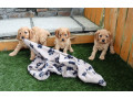 gorgeous-cavapoo-puppies-for-sale-small-0
