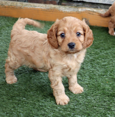 gorgeous-cavapoo-puppies-for-sale-big-2
