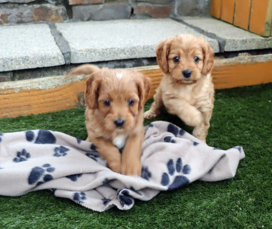 gorgeous-cavapoo-puppies-for-sale-big-1