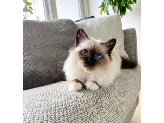 Ragdoll cat and kittens for sale