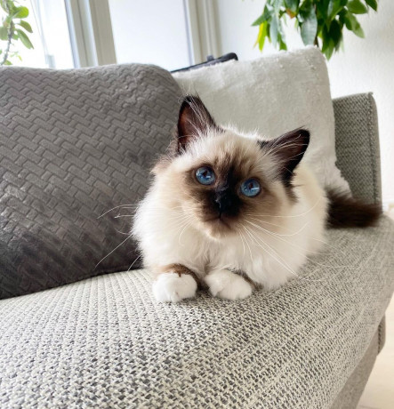 ragdoll-cat-and-kittens-for-sale-big-0