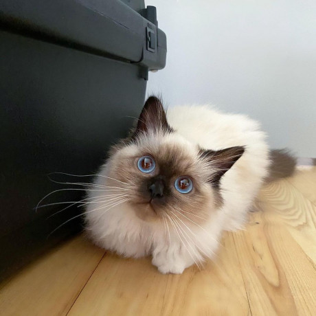 ragdoll-cat-and-kittens-for-sale-big-1