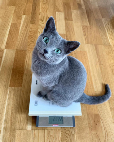 russian-blue-cats-an-kittens-for-sale-big-1