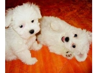 Healthy Male and Female Maltese puppies