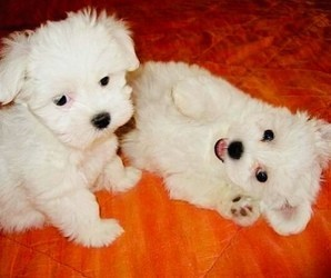 healthy-male-and-female-maltese-puppies-big-0