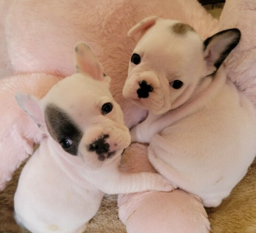 well-trained-french-bulldog-puppies-big-0