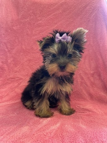 yorkie-puppies-for-sale-big-0
