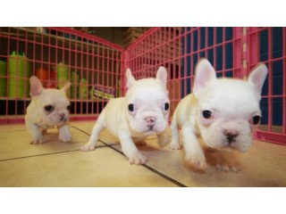 LOVELY BLUE FRENCH BULLDOG PUPPIES