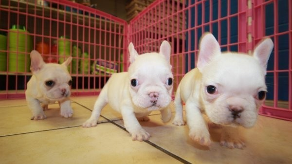 lovely-blue-french-bulldog-puppies-big-0