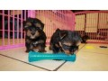 teacup-toy-yorkie-puppies-small-1