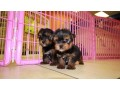 teacup-toy-yorkie-puppies-small-2