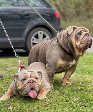 health-tested-englishdogs-for-new-homes-big-1