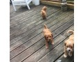 adorable-cavapoo-litters-for-new-homes-small-1