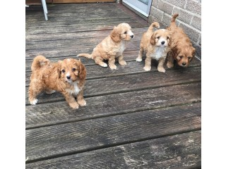 ADORABLE CAVAPOO LITTERS FOR NEW HOMES